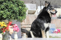 Adios-a-Capitan-el-perro-que-vivia-junto-a-la-tumba-de-su-mejor-amigo