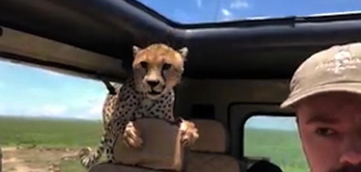 ¡El guepardo que se cuela en el coche!
