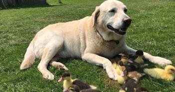 un-labrador-adopta-a-nueve-patos-1