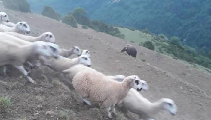 el-pastor-que-protege-a-su-rebano-del-oso-1