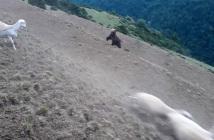 el-pastor-que-protege-a-su-rebano-del-oso