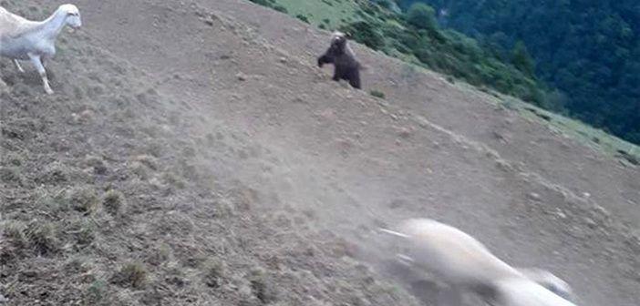 ¡El pastor que protege a su rebaño del oso!