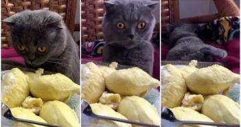 gato-desmayado-por-una-fruta-apestosa