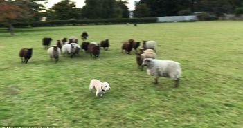 jugando-con-ovejas