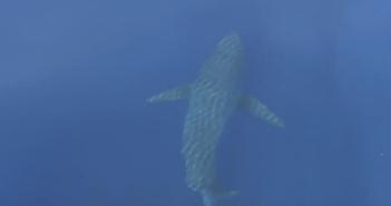 un-tiburon-blanco-en-baleares-1