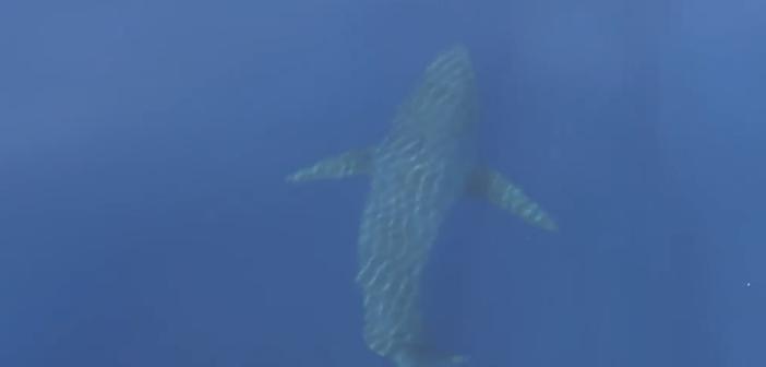 ¡Un tiburón blanco en aguas Baleares!