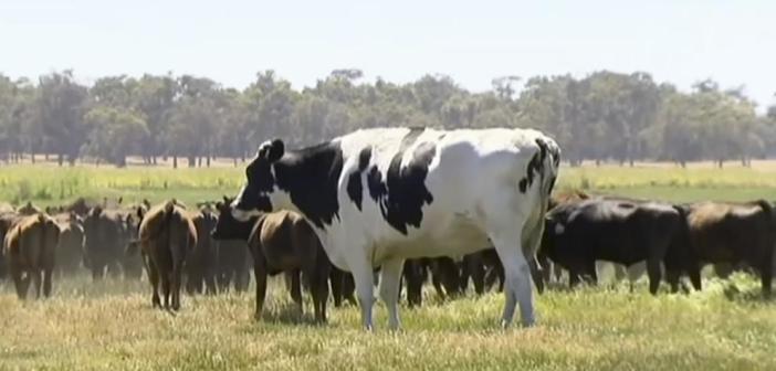 La vaca gigante que se libró del matadero