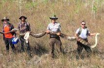 capturan-una-piton-de-mas-de-5-metros
