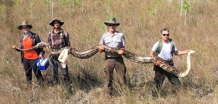 ¡Capturan una pitón de más de 5 metros!